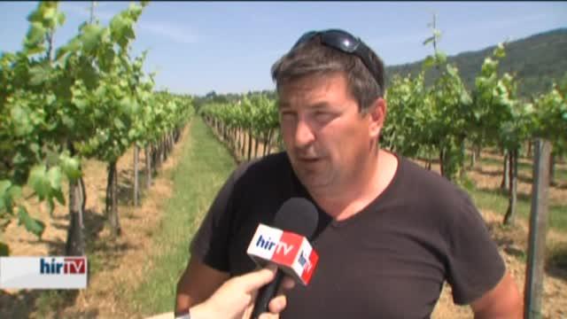 Eddig kegyes volt az időjárás, kiváló minőségű szőlő várható