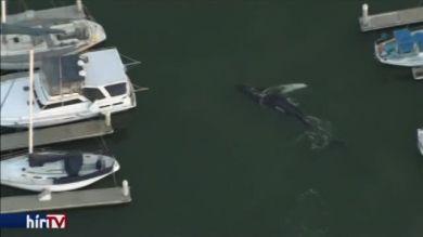 Kimentették a hajók közé szorult bálnát