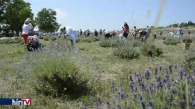 Több ezer embert mozgatott meg a levendula