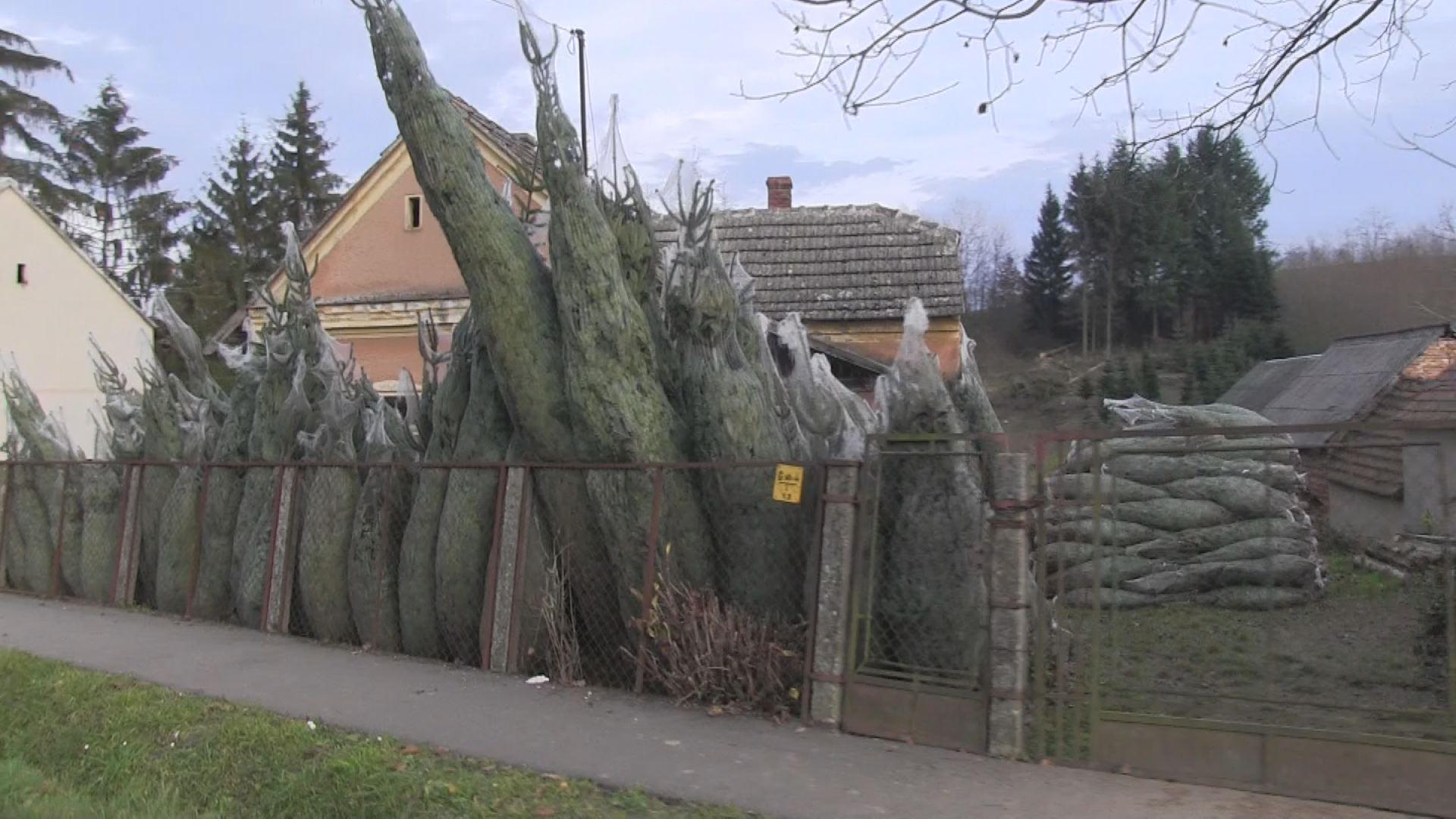 Itt mindenki a karácsonyfa-termelésből próbál megélni