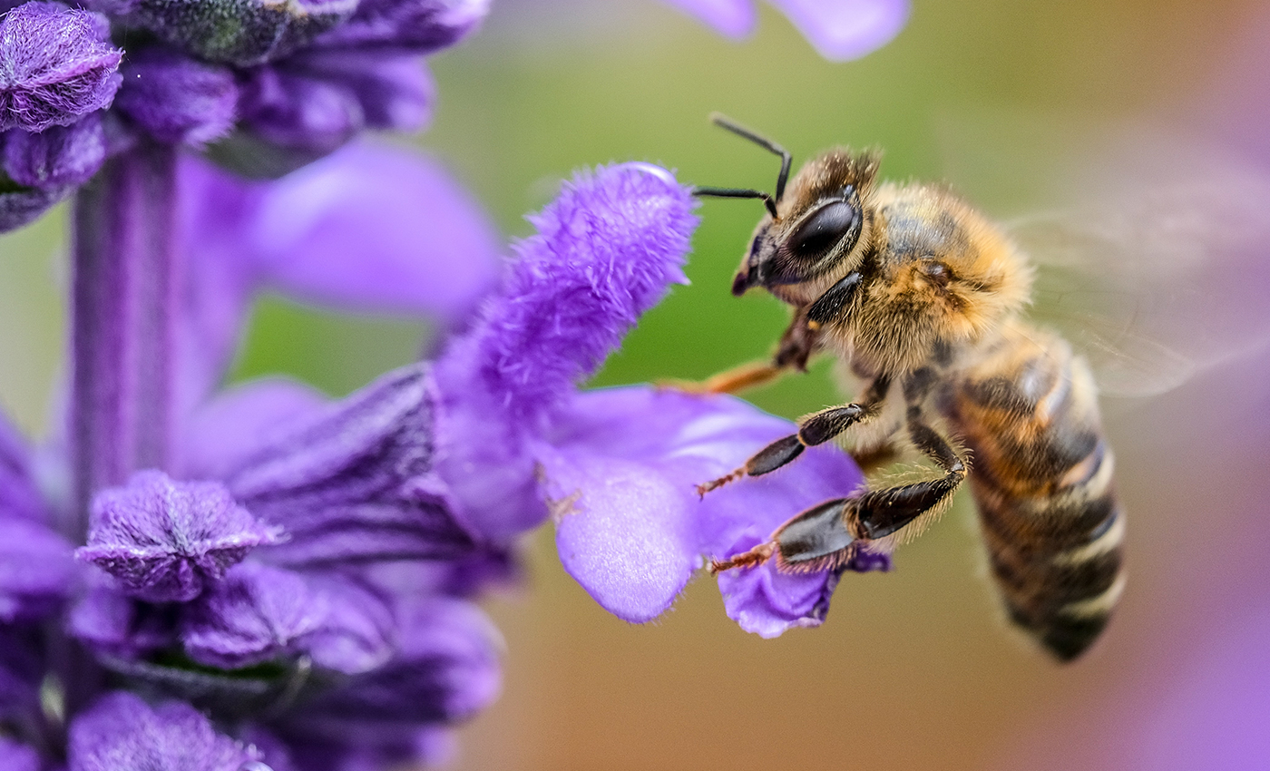 A swarm of honeybees can gang up to roast invading hornets alive.