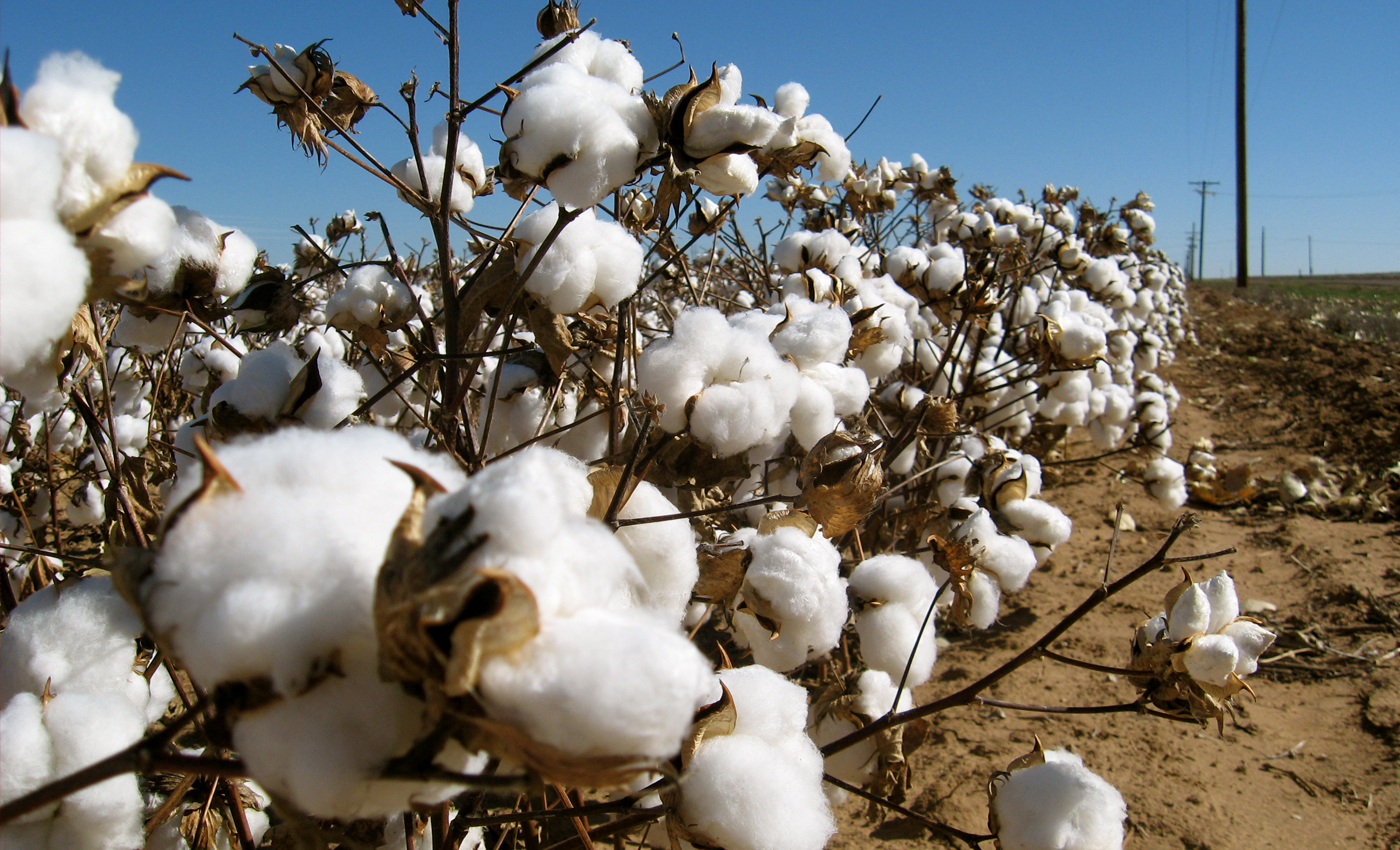 China is forcibly making Uighurs Muslims to work in cotton fields.