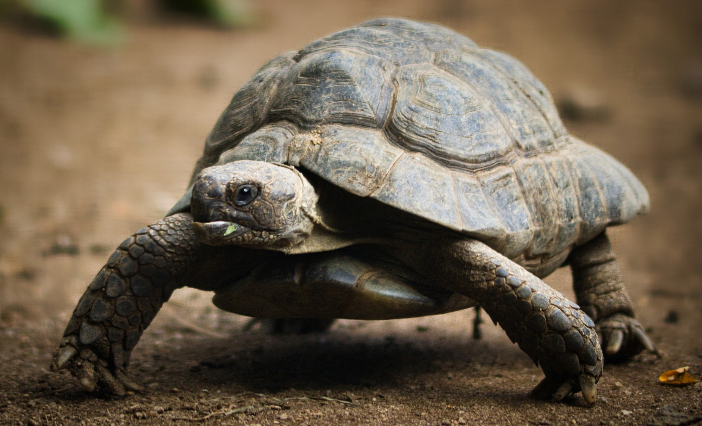 A video shows a group of tortoises running around unusually fast.