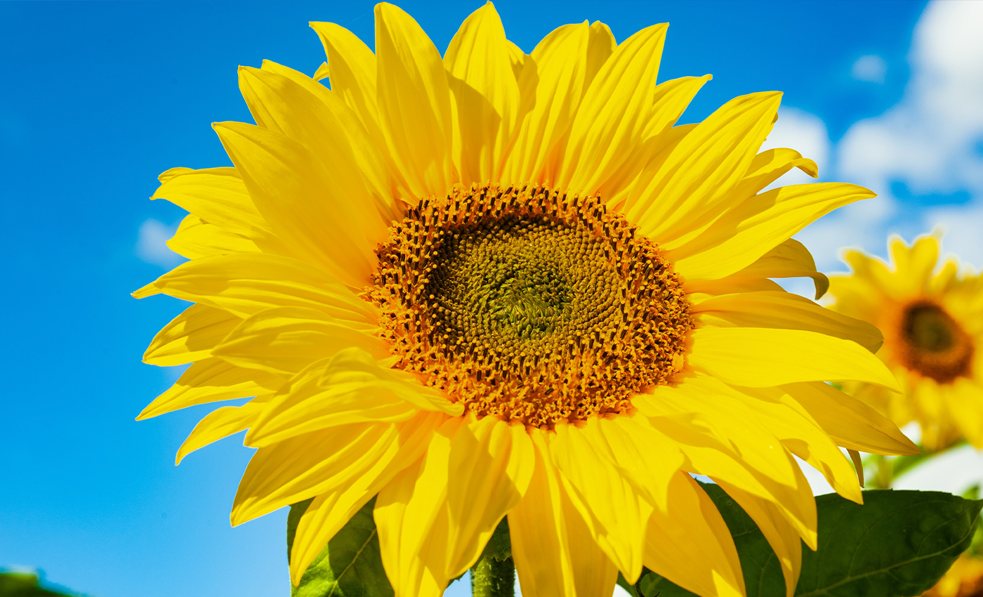 Sunflowers face each other when there is no sunlight.