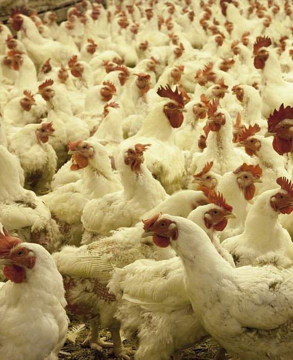 Eating eggs and poultry items are not safe especially when the coronavirus and bird flu are doing rounds.
