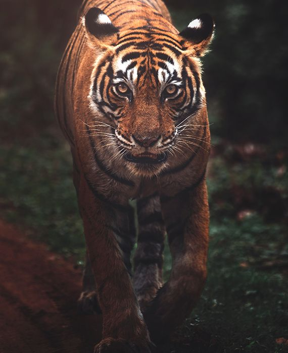 The number of captive tigers in Europe and the United States is more than double the number left in the wild.