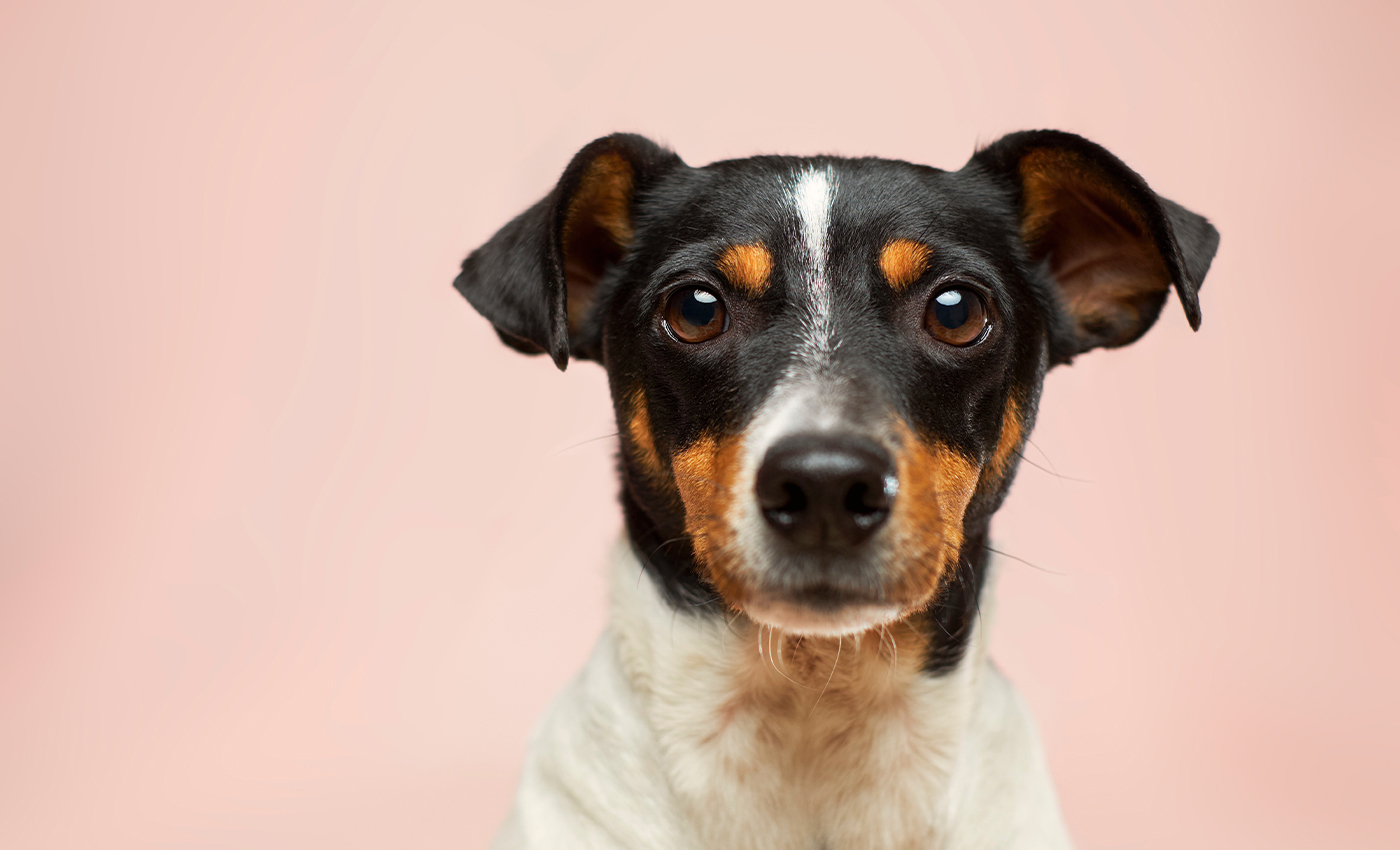 Dogs can detect if a person has COVID-19.