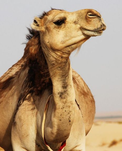 Drinking camel urine can cure and protect from COVID-19.
